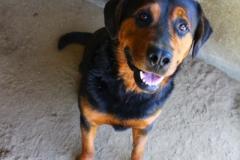 Tyson je 4 letý kříženec RTW. Hodný, přátelský, mohutný, poslušný, vhodný do bytu i na zahradu, vhodný k větším dětem, nevhodný k jiným samcům, snášenlivý s fenkami, ostatní zvířata nevíme.