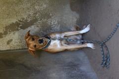 Rex je 3,5 letý křížený Am. Foxhound. Zcela nesocializovaný, z bázlivosti agresivní, do bytu i na zahradu, zcela nevhodný k dětem a starším lidem, pomalu se u nás aklimatizuje a socializuje.