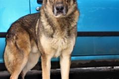 Rek, pes, 3 roky, kříženec Kavkazana, hodný, hravý, zpočátku bázlivý, vhodný na zahradu.