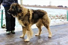Adélka, fena, 3-4 let, Kavkazský pastevecký pes, hodná, hravá, vhodná na zahradu, nevhodná k ostatním zvířatům.