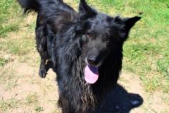 Bady je 6 letý křížený BO - Tervík. Hodný,  velice energický, poslušný, své lidi vítá, cizích si nevšímá, na zahradu k domku, vhodný k jiným psům a zvířatům, k velkým dětem, základní poslušnost.