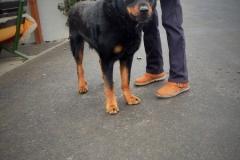 Rony, pes, 6let, kříženec Rottweilera.