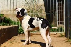 Theodor, pes, 3roky, vykastrovaný Americký buldok.