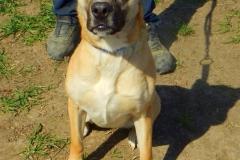 Katarina je 1,5 letá kříženka staforda, hyperaktivní a nevhodná ke psům, mazlivá a poslušná.