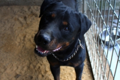 Mex je 5 letý Rotwailer. Pokud má řádná pravidla tak je to poslušný a bezproblémový pes, vodný spíše na zahradu, snášenlivý s ostatními zvířaty.