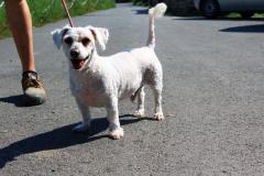 Monty je 8 letý Bišonek. Přátelský,na svůj věk divoký,poslušný, do bytu i na zahradu,snášenlivý se zvířaty.