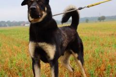 Max je 9 měsíční X Malamuta a RTW. Max je hodný, živý a hravý pes,vhodný na zahradu k domku, vhodný k dětem a jiným zvířatům, ovládá základní poslušnost.