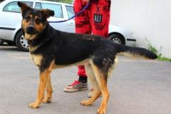 Timea je 3 letá kříženka NO, přátelská a veselá, nevhodná k jiným psům.