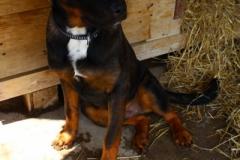 Lipo je 5 měsíční křížený RTW a NO. Hodný, přátelský, poslušný, vhodný do bytu i na zahradu, vhodný k ostatním zvířatům a velkým dětem.