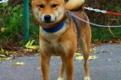 Fox je 10 měsíční Shiba-inu, vhodný do bytu i na zahradu, umí základní povedly, je hodně dominantní a majetnicky, není vhodný k dětem a psy si vybírá.